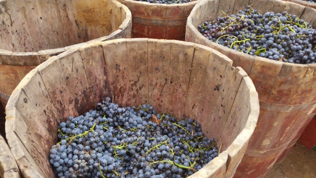 Знакомство с методами сбора винограда на Риохе