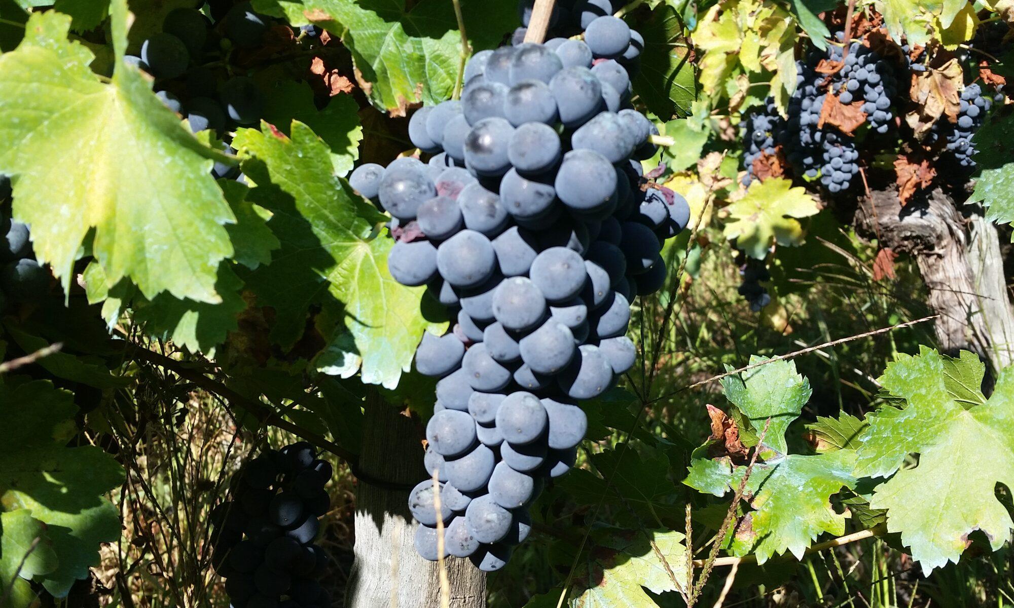 сорта винограда Риохи