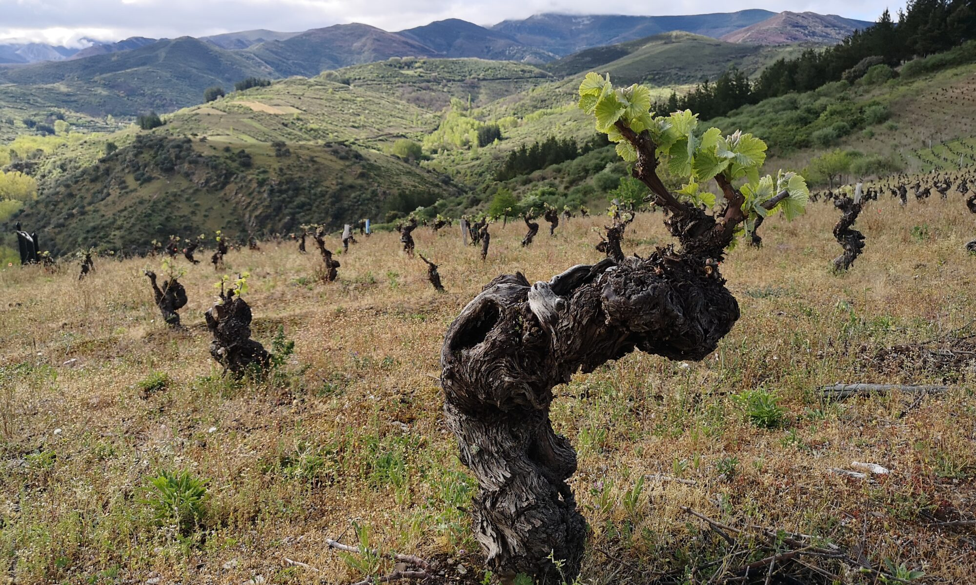 Виноградные лозы зоны Бьерцо